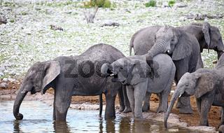 Elefantenherde, Etosha, Namibia; african elephants, Loxodonta africana