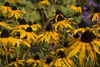 Blüte von Rudbeckia fulgida ### blossom of Rudbeckia fulgida
