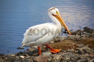 pelican yellowstone