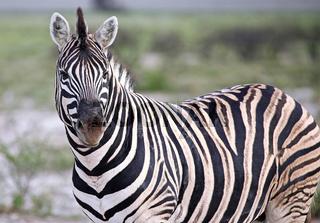 Zebra, Steppenzebra, Etosha, Namibia, Plains Zebra, Equus quagga