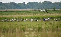 Cranes on the Darss