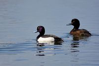 tufted ducks on a lake
