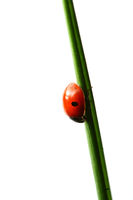 summer red  ladybug on grass