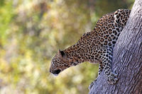 Leopard on a tree, South Luangwa National Park