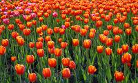 Field of bright orange-red tulips