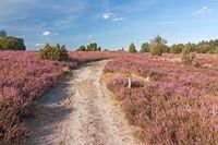 Weg durch blühende Heidelandschaft bei Wilsede in der Lüneburger Heide