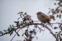 Hedge sparrow