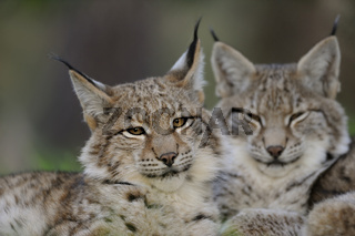 Katzengesichter... Eurasischer Luchs *Lynx lynx*
