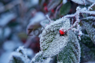 Red berry on frozen leaf. Piedmont, Northern Italy.