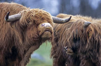 Highland Cattle, their meat is low in cholesterol