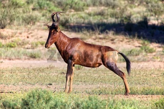 an hartebeest at kgalagadi transfrontier park south africa