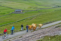 herd of Scottish Highland Cattle on a narrow country road, Assynt, Scotland, Great Britain