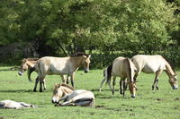 The Przewalski's horse with Foals