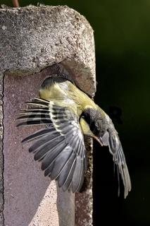 Kohlmeise Jungvogel