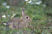European Rabbit, the newborns are totally dependent upon their mother