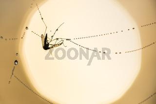Muecke in einem Spinnennetz, Lappland