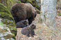 Braunbaer, Brown Bear,