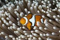 Echter Clown-Anemonenfisch, Australien