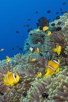 Rotmeer-Anemonenfische im Riff, Sudan