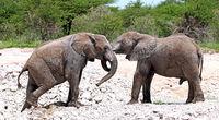african elephants, Etosha NP, Namibia