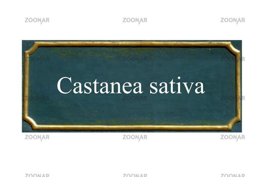 shield castanea sativa, noble chestnut