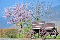 D--Pfälzer Mandelblüte bei Edenkoben.jpg