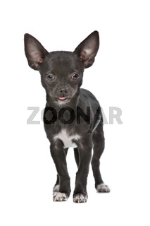 Black and white Chihuahua dog