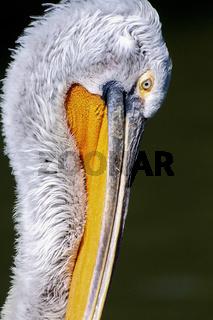 Dalmatian Pelican ,Der Krauskopfpelikan (Pelecanus crispus) Portrait