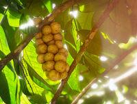 Fresh tropical Longkong fruit from Thailand