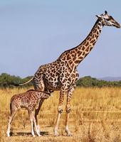 Giraffes at South Luangwa National Park, Zambia