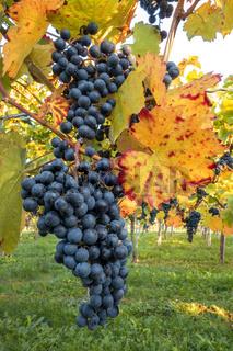 Blaue Weintrauben am herbstlichen Weinstock