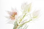 Blüte einer Serruria florida, isoliert auf weißem Hintergrund