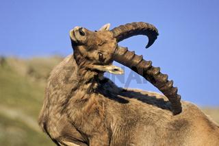Alpensteinbock bei der Fellpflege - (Gemeiner Steinbock) / Alpine Ibex buck grooming - (Steinbock) / Capra ibex