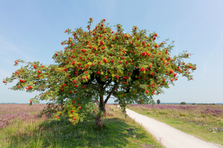 sorbus or rowan tree with berry