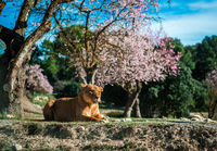 Lioness lie on a ground, sunny day and blooming almond trees on a background