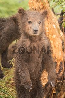 Brown bear cub standing on hind legs