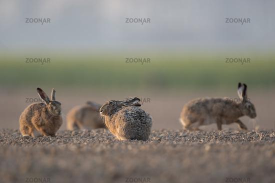 all together... European Hares *Lepus europaeus*