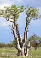 Moringa tree, ghost tree forest at Etosha NP, Namibia
