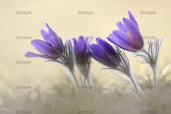 Common Pasque Flowers *Pulsatilla vulgaris*