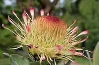 Gardener Protee ( Leucospermum ) , South Africa,
