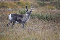 Reindeer hunting by humans has a very long history