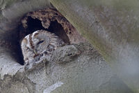 Tawny Owl it nests from February to March