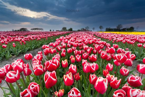 beautiful red tulip field in spring
