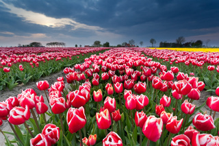 beautiful red tulip field in spring