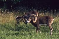 Europaeische Mufflon halten sich selten lange an einem Platz auf
