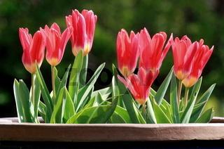 rote Tulpen im Blumentopf