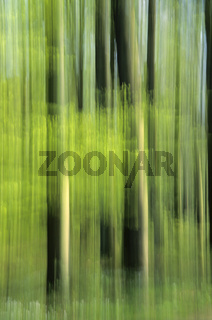 Rotbuchenwald im Fruehling / Beech forest in springtime / Fagus sylvatica - (Schierenwald)