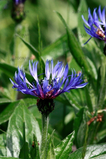Knapweed, blue, in the bed