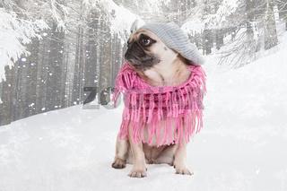 Mops im Winter