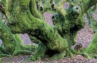 Rotbuchen im Maerchenwald Troldeskoven / Nationalpark Rebild Bakker  -  Nordjylland
